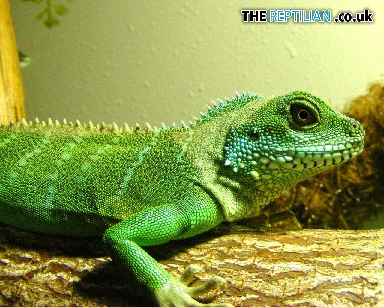 the gallery for gt chinese water dragon wallpaper